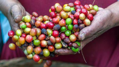 Photo of Vedeli ste o tom, že plody kávy vyzerajú a chutia ako čerešne?