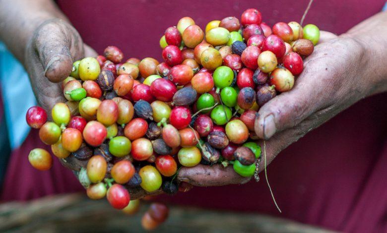 plody kávovníka, tzv. kávové čerešne