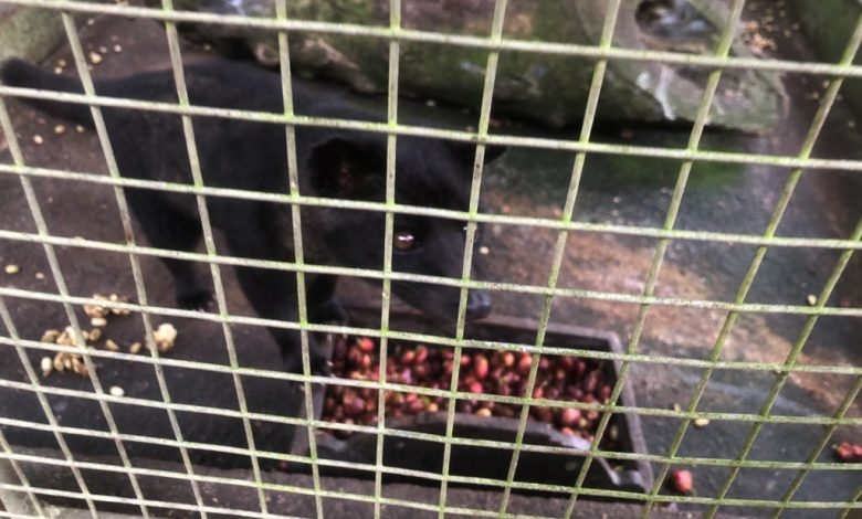 cibetka kŕmená kávou - kopi luwak