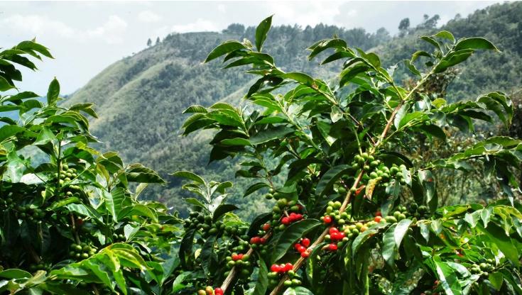 Kávová plantáž, kávovník, farmárska kríza