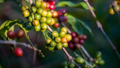 Photo of Prečo pestovatelia kávy živoria pod hranicou chudoby a ako tomu zabrániť?