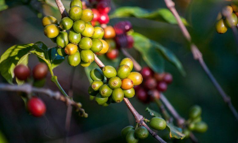 Pestovatelia kávy žijú pod hranicou chudoby