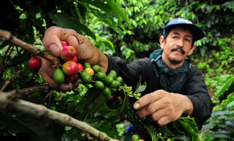 Zber kávy v Kolumbii, kávová plantáž.
