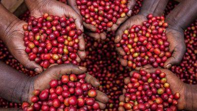 Photo of Bežné problémy ugandského pestovateľa kávy