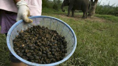 Photo of Black Ivory Coffee: Káva, ktorá prejde tráviacim traktom slona