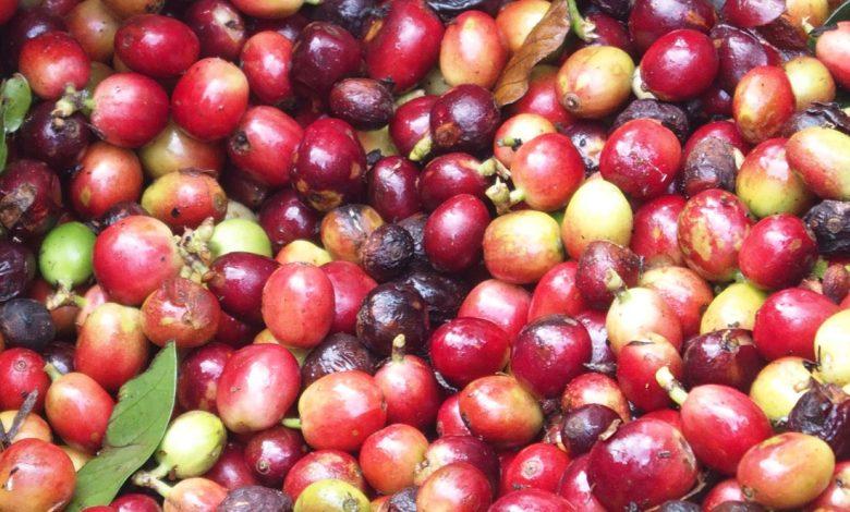 Kávové čerešne, triedenie kávových čerešní