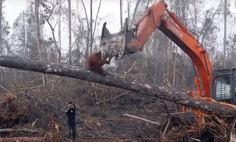 Orangutan a bager, produkcia palmového oleja