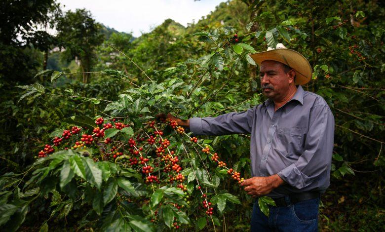 Starbucks, kávová plantáž, ekológia, kávové čerešne