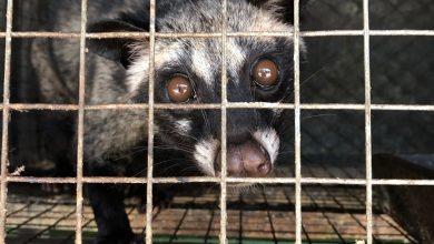 Photo of V klietkach našli zúbožené cibetky: Toto je kopi luwak…