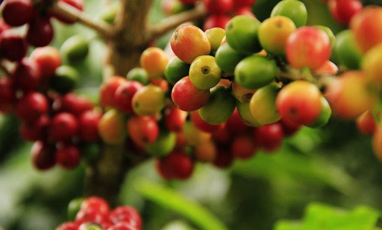 Kávové čerešne, plody kávovníka