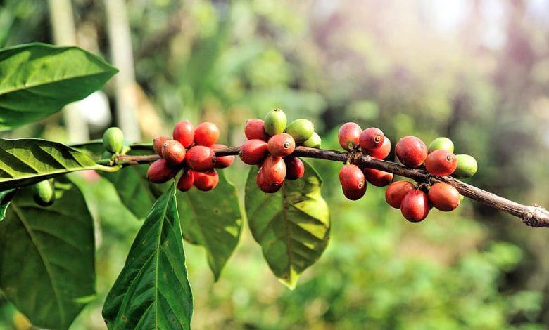 Pestovanie kávy v Mexiku