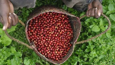 Photo of Keňania lamentujú, koronavírus potápa trh s výberovou kávou