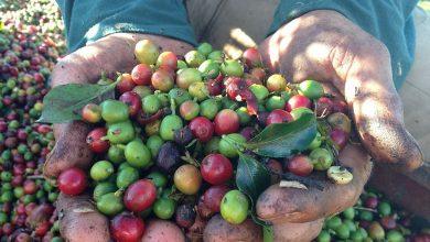 Photo of Brazília mieri za rekordným zberom kávy, brzdí ju však pandémia