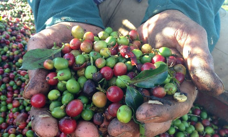 Brazília a zber kávovej úrody