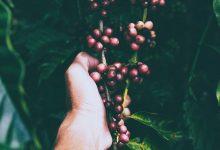 Photo of Klonálnu kávu v Ugande spájajú s koronou, všetky hoaxy doposiaľ úspešne prežila