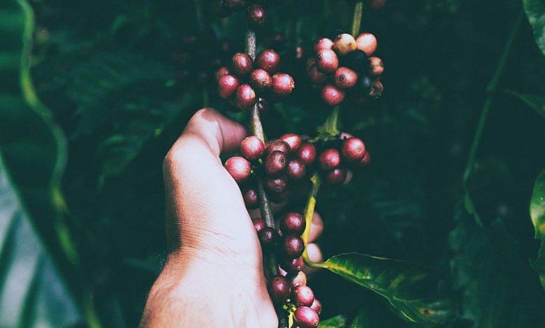 Pestovanie klonálnej kávy v Ugande