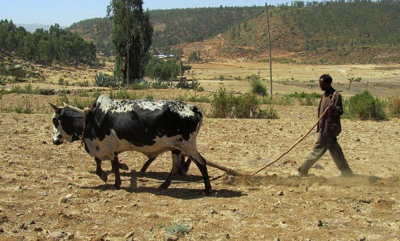 Pestovanie kávy v Etiópii a klimatické zmeny
