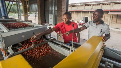 Photo of Uganda môže vyprodukovať vyše 300 000 ton kávy, dážď však sťažuje situáciu