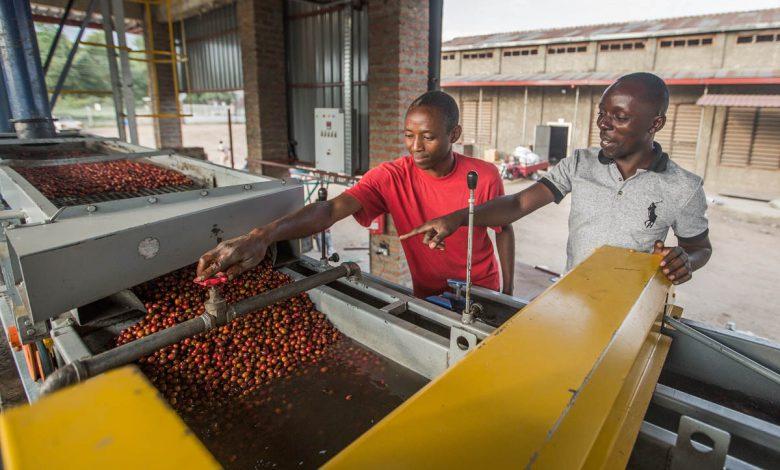 Spracovanie kávy v Ugande