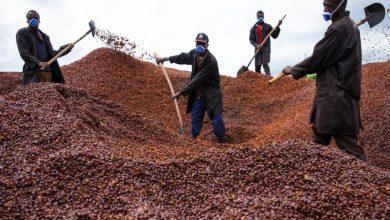 Photo of Nová štúdia tvrdí, že ani robusta nie je odolná voči otepľovaniu