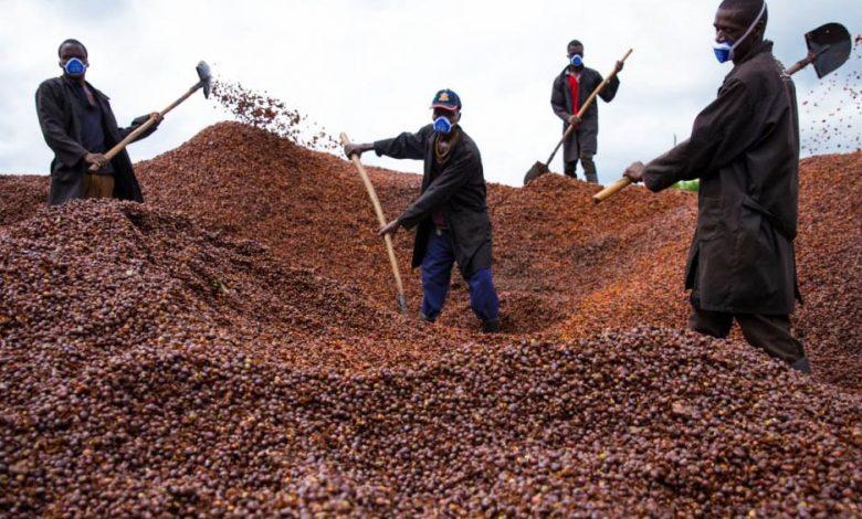 káva a klimatické zmeny, robusta
