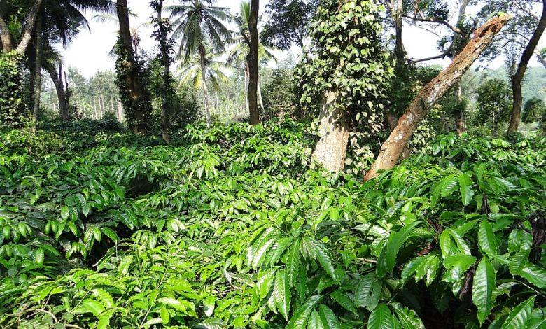 pestovanie kávy v Indii