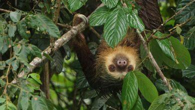 Photo of Kostaričania sa obávajú, že úroda kávy ostane nepozbieraná