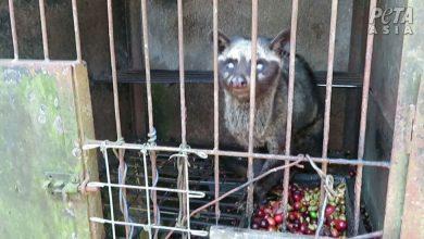 Photo of PETA bojuje proti kopi luwak, cibetky môžu byť spúšťačom novej pandémie