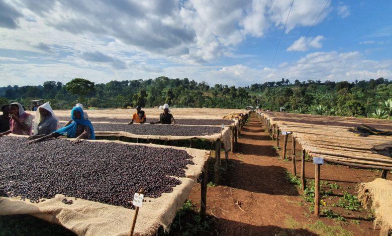 sušenie kávy na afrických posteliach