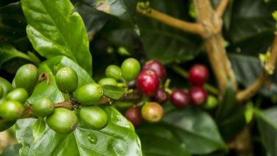 Photo of Kávovník môžete pestovať aj doma: Držte sa týchto rád…