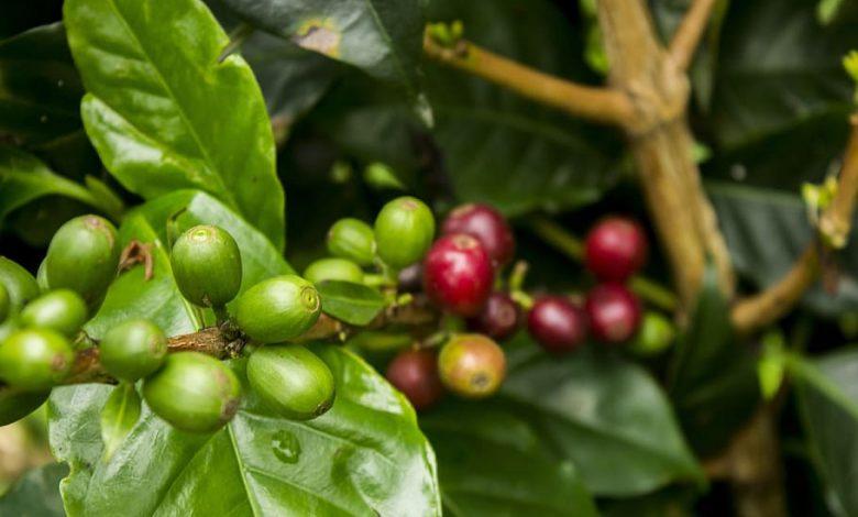 kávovník a pestovanie doma
