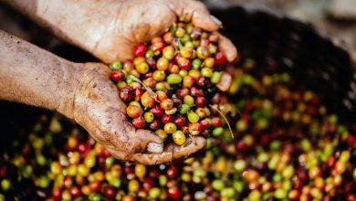 Photo of Robíme z nich žobrákov: Zberači kávy dostávajú 12 centov za kilogram