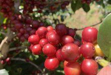 Photo of E-commerce: Nová príležitosť pre salvadorských pestovateľov kávy