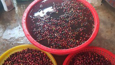 Photo of Floating kávových čerešní: Kvalita do výberovky, hnijúci odpad do instantnej kávy