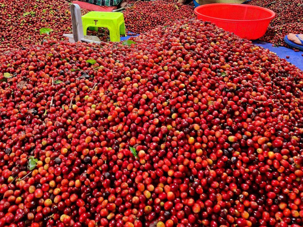Kávové čerešne na kope