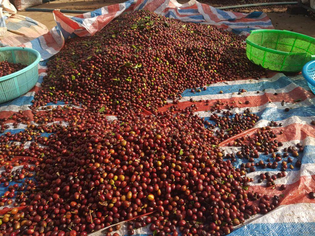 kávové čerešne