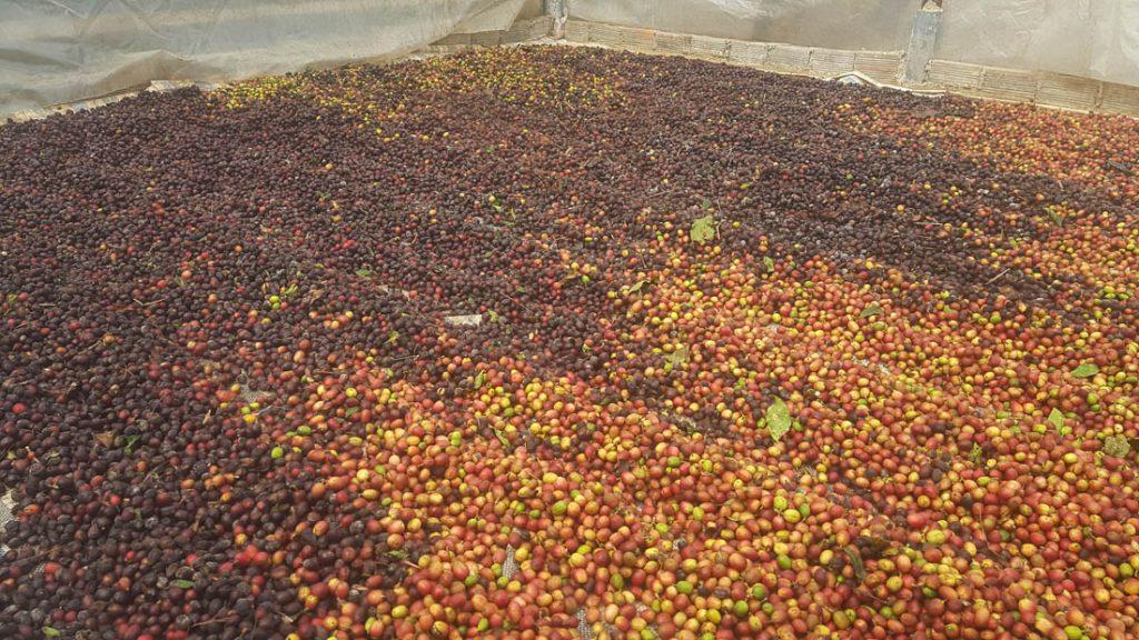 vytriedené kávové čerešne