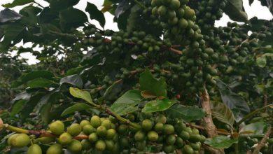 Photo of Nikaragua vie ponúknuť rôzne chuťové profily kávy, po stránke kvality však má čo zlepšovať