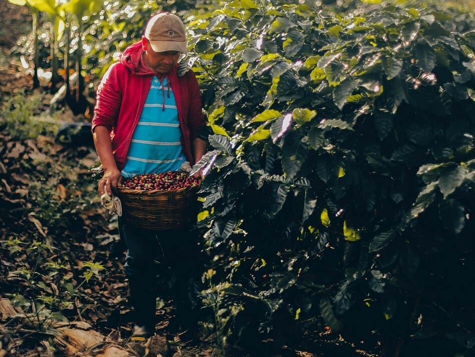 zber kávy v Nikarague