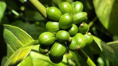 Photo of Káva Liberica: Ako chutí a čo to vlastne je? (VIDEO)