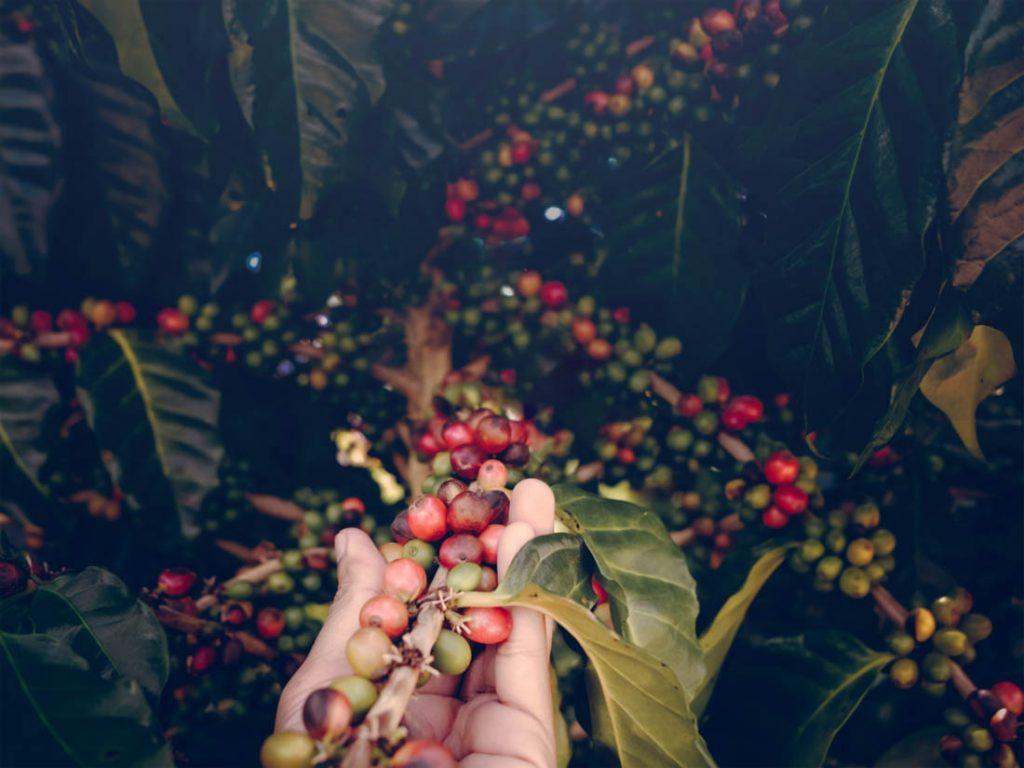 dozrievajúce kávové čerešne