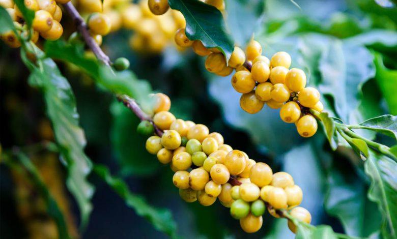 kávové čerešne Yellow Bourbon