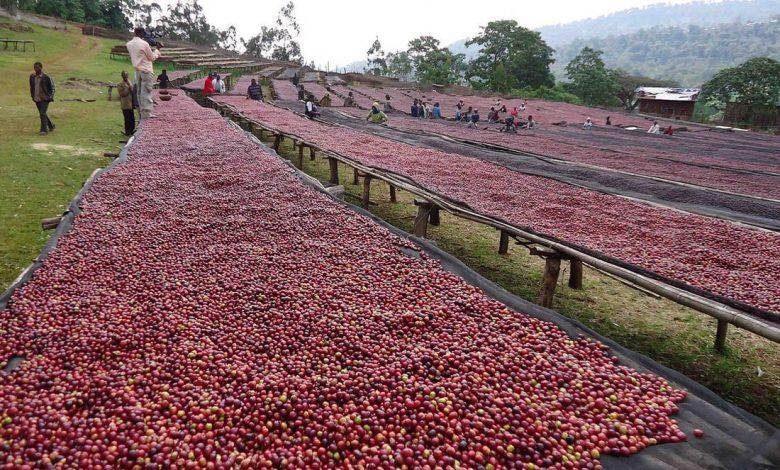 naturálne spracovaná káva - sušenie na afrických posteliach