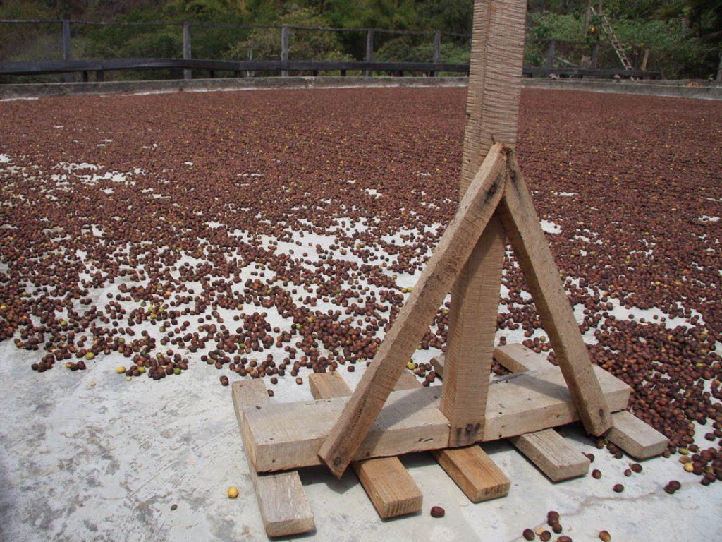 naturálne spracovaná káva - sušenie na patiu