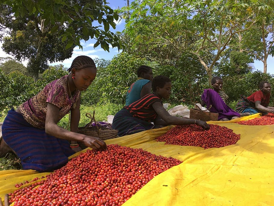 single origin káva, triedenie kávy v Etiópii