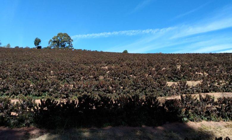 mrazy v Brazílii a úroda kávy